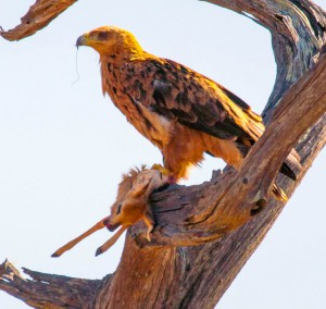 tawny eagle with kill